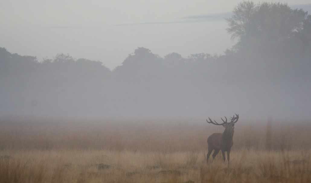 Rutting season at Richmond park