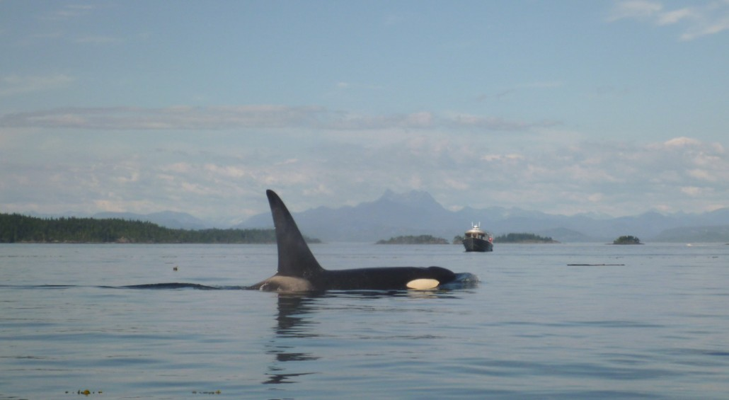 Telegraph Cove, rencontre avec les orques