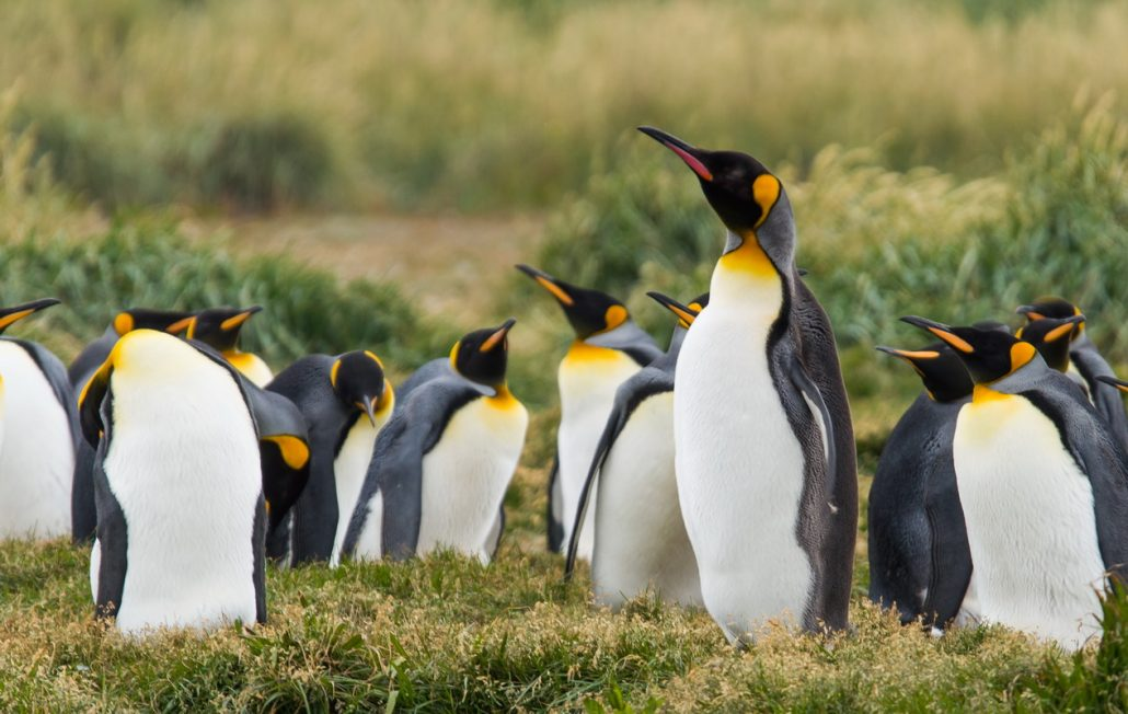 King pinguins
