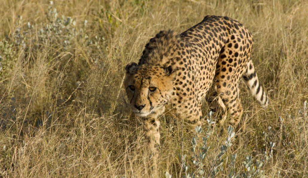 Cheetahs !
